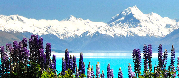 Mount Cook with wild Lupine, South Island, New Zealand photo tour image