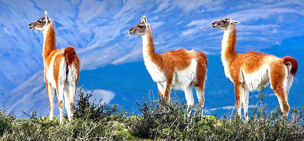 Patagonia photo tour image of three Guanacos in Torres del Paine National Park, Chile