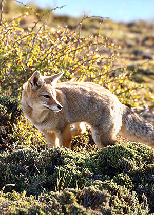 Patagonia photo tour image of a fox in Torres del Paine National Park, Chile